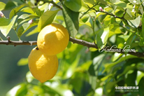低農薬で栽培される国産片浦レモン